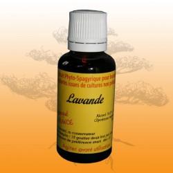 Lavande (Lavendula vera officinalis)